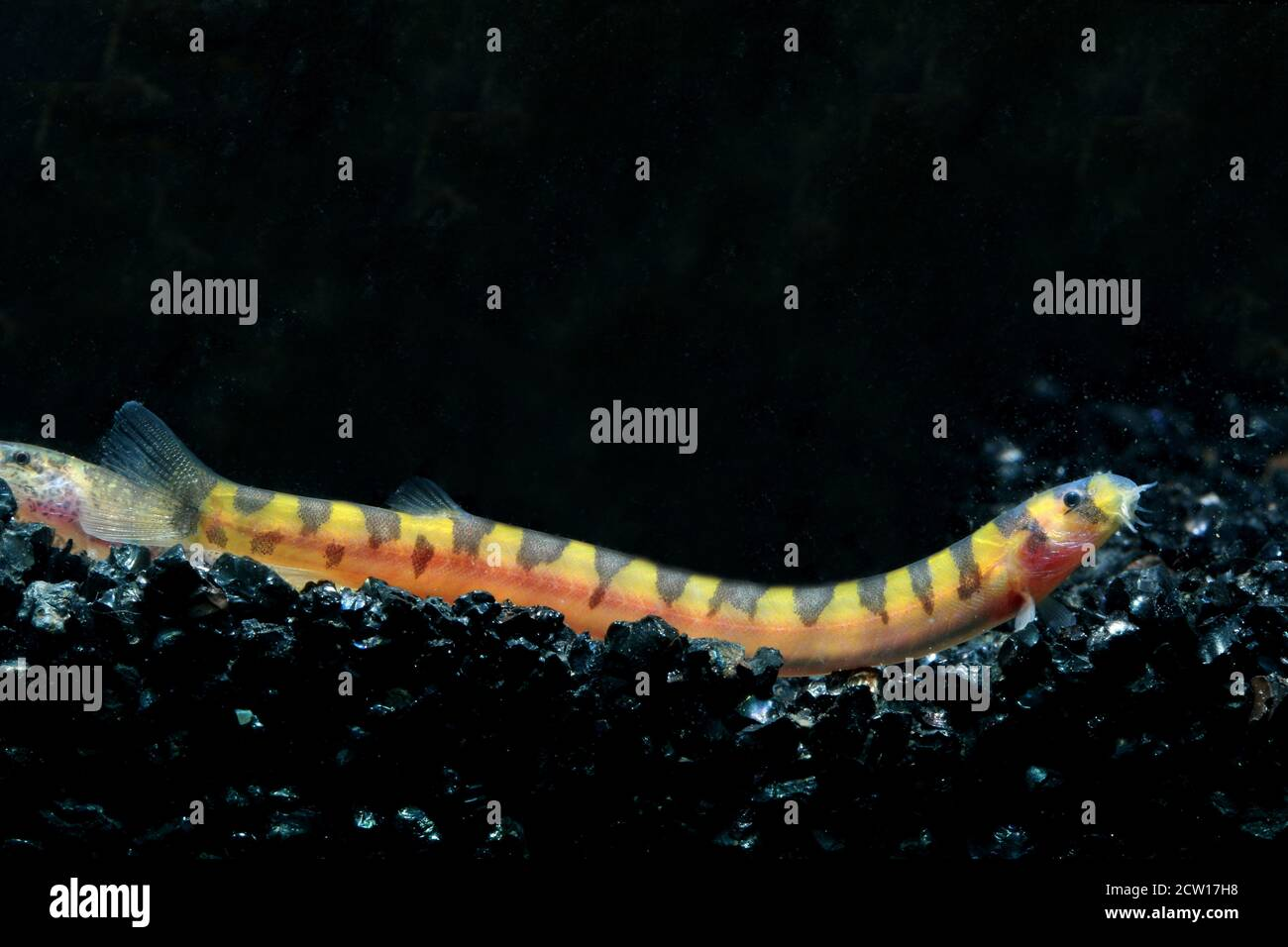 Pangio malayana o Malayan Pangio, Acanthophthalmus kuhlii malayanus Foto de stock