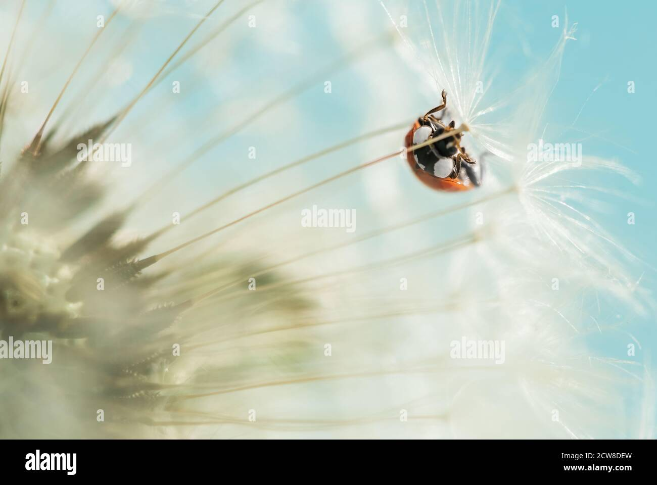 ladybug rojo sobre diente de león blanco. foto macro Foto de stock