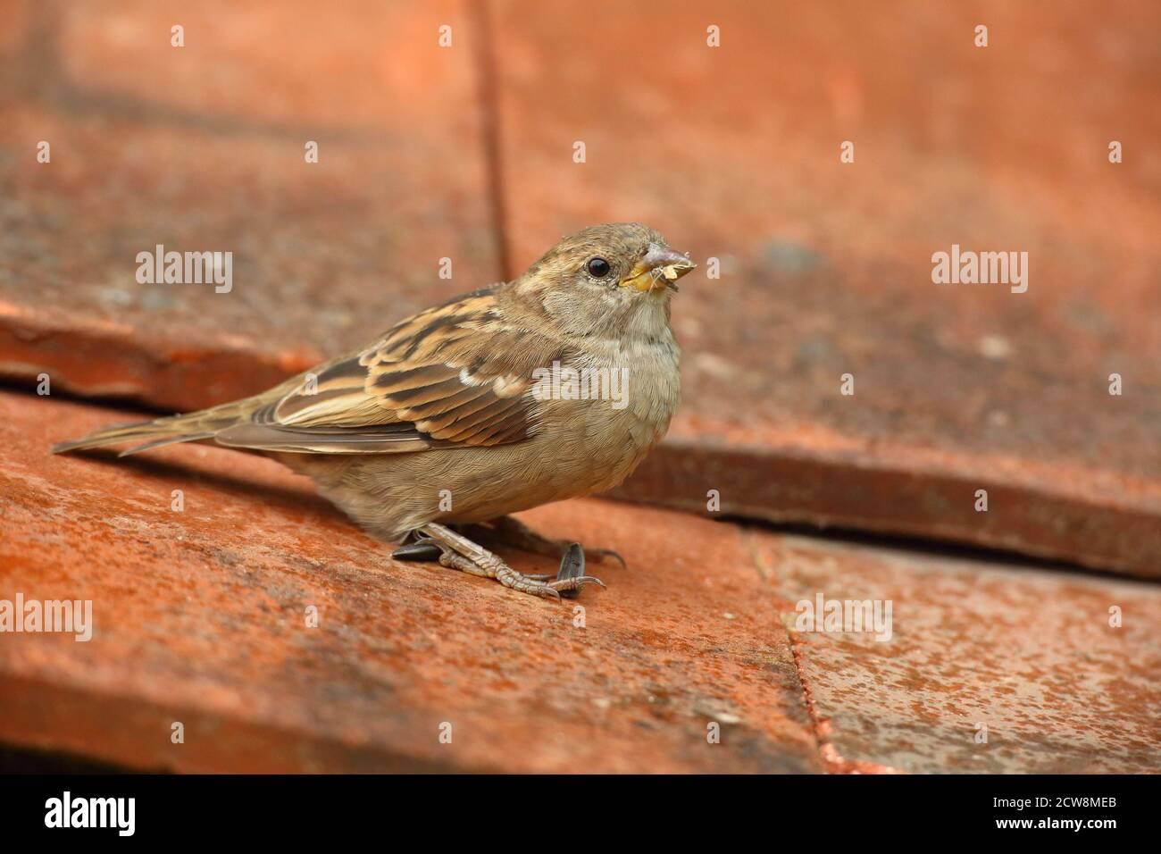 Female House Sparrow (Passer domesticus) sobre tejas de arcilla. Tomado en agosto de 2020. Foto de stock