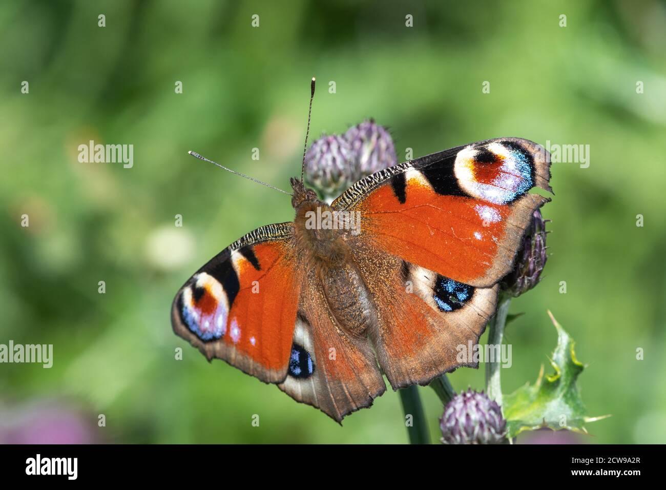 Primer plano de una mariposa de pavo real (aglais io) en una flor Foto de stock