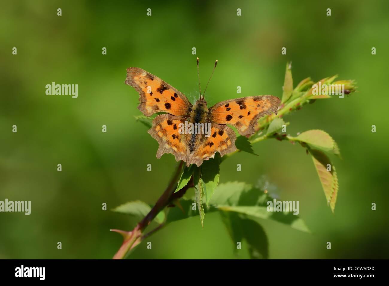 Mariposa aislada de la especie de coma (Polygonia c-album) de la familia Nymphalidae, fotografiada con lente macro sobre una hoja de una planta silvestre. Foto de stock