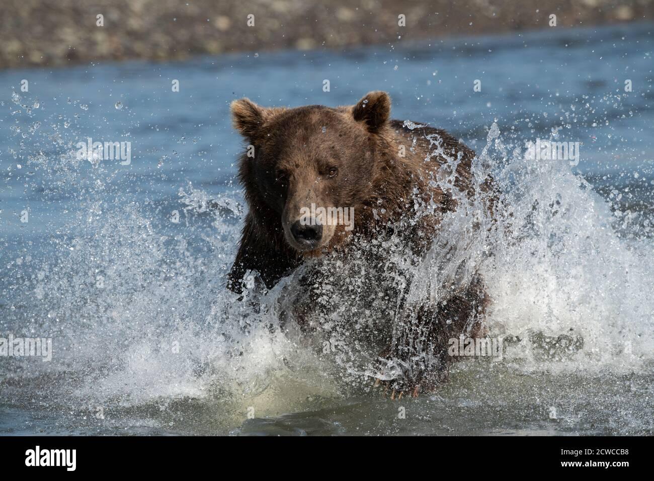 Oso marrón costero de Alaska Foto de stock
