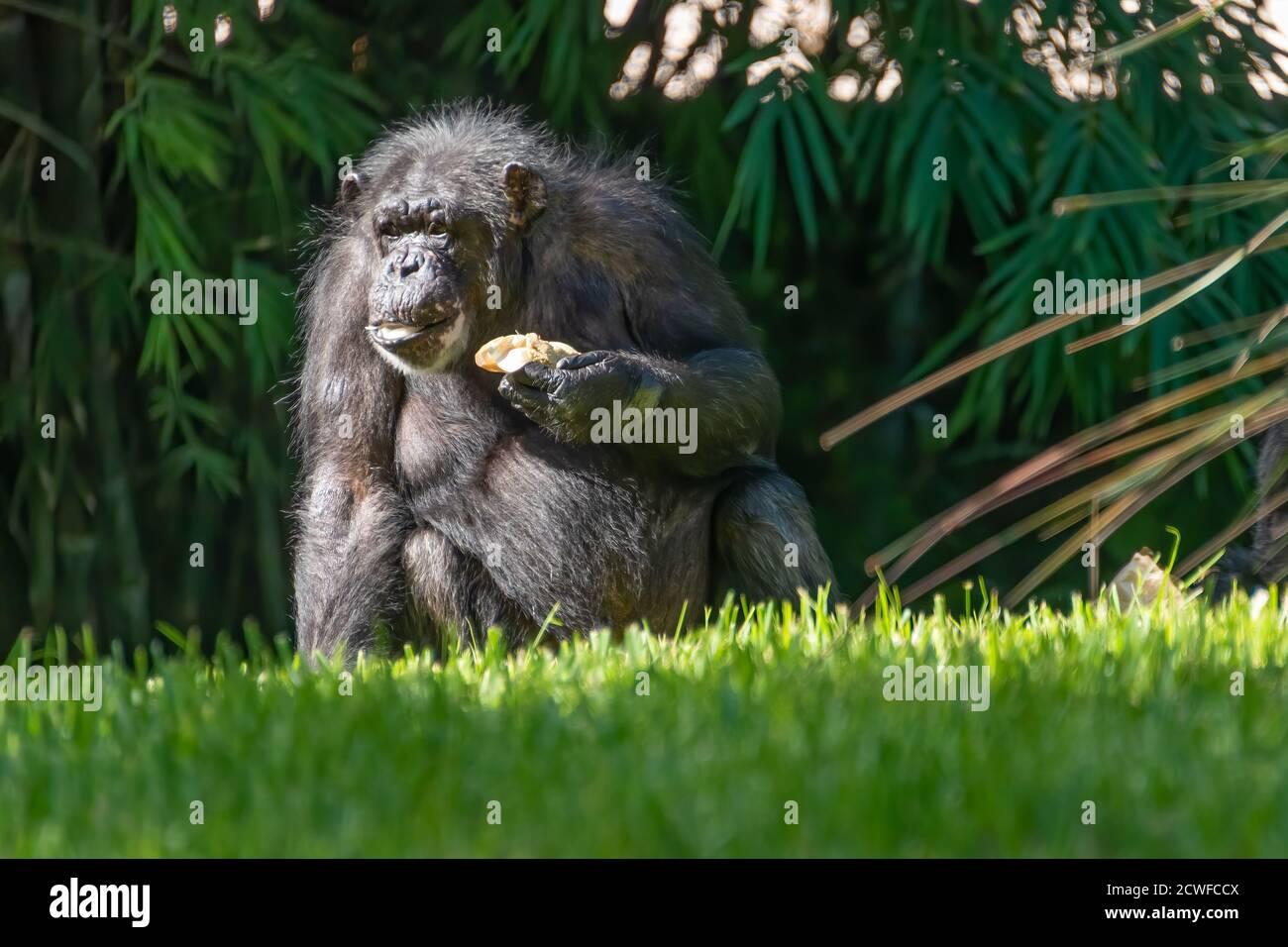 Chimpancé grande (Pan troglodytes) en Busch Gardens Tampa Bay en Tampa, Florida. (EE.UU.) Foto de stock