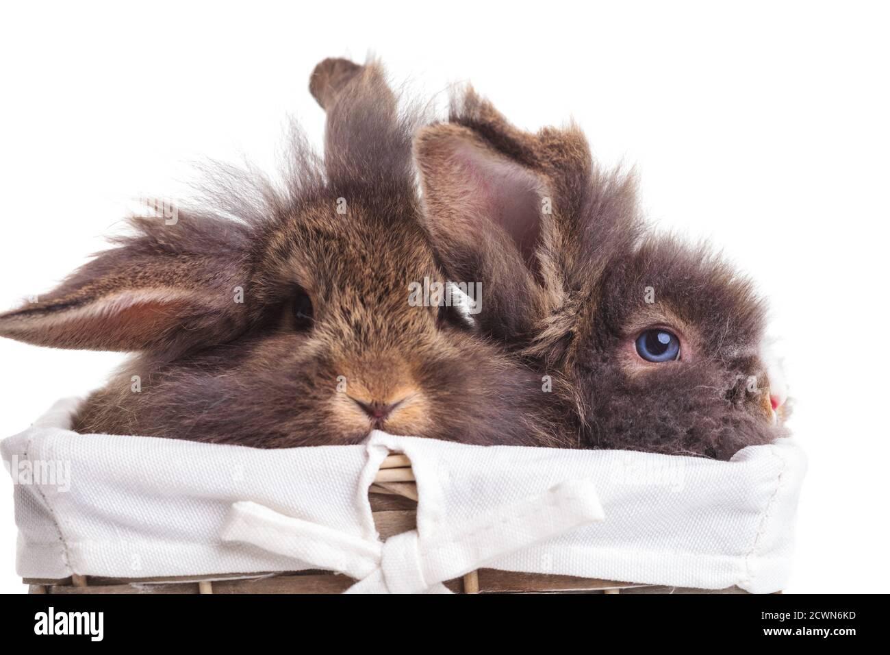 Dos lindos conejitos de conejo cabeza de león sentados dentro de una canasta de madera. Foto de stock