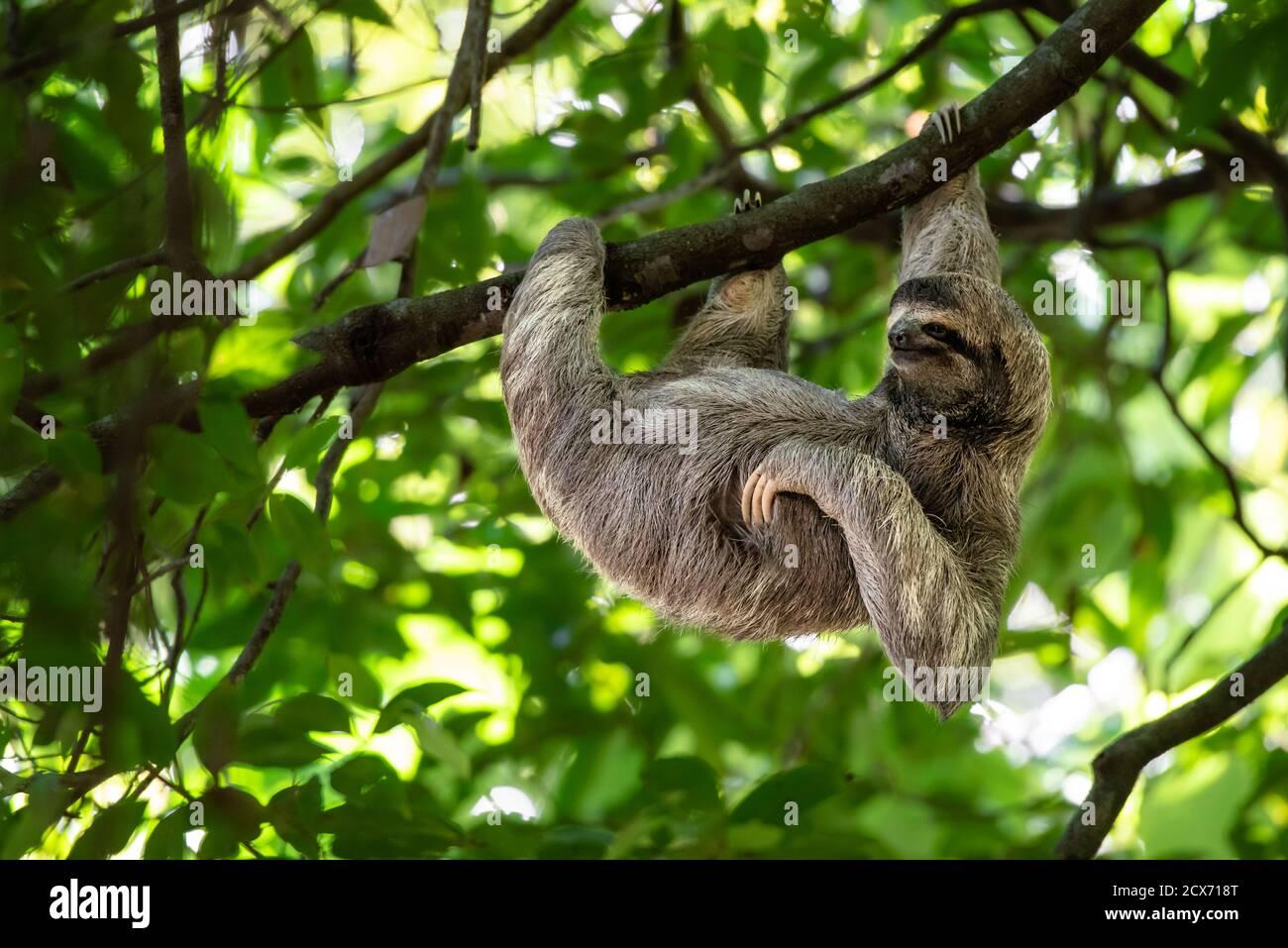Perezoso divertido colgando en la rama del árbol, cara bonita mirada, retrato perfecto de animal salvaje, Selva de Costa Rica, el chin rascándose, Bradypus variegatus Foto de stock
