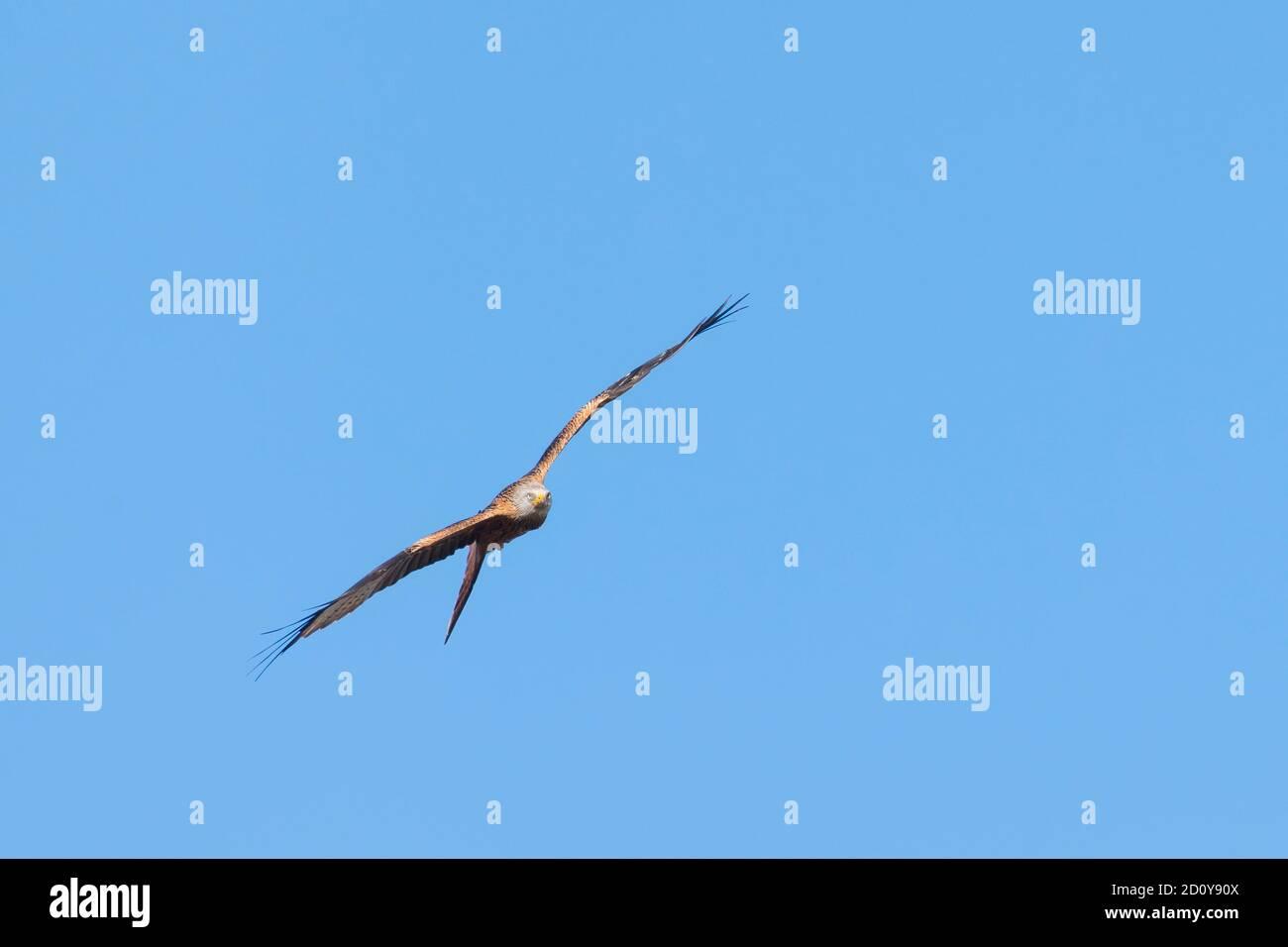 Red Kite, Milvus milvus, en vuelo contra el cielo azul, Dumfries & Galloway, Escocia Foto de stock