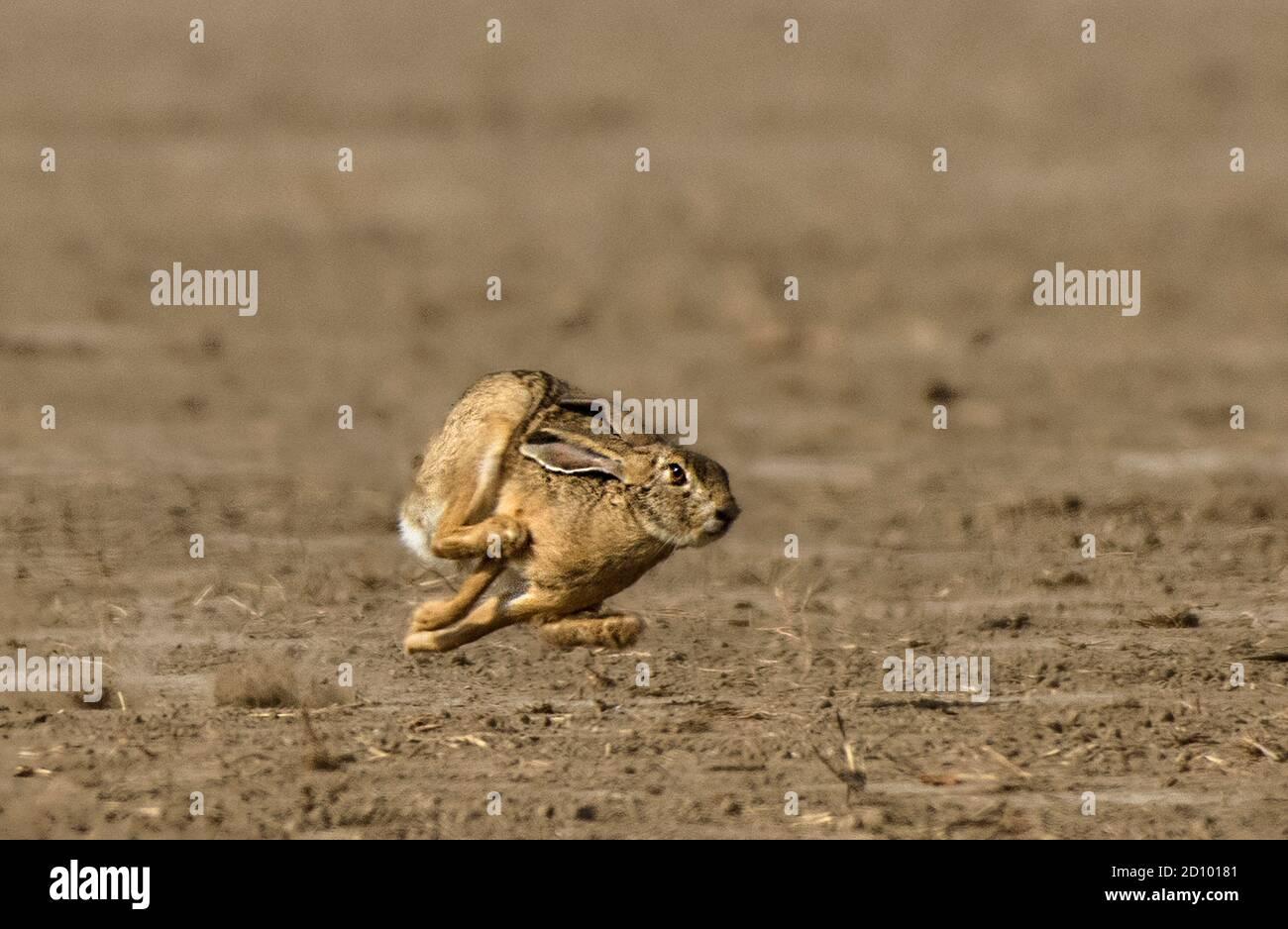 Los liebres (Lepus) y los liebres son leporidas pertenecientes al género Lepus. Las liebres se clasifican en la misma familia que los conejos. Foto de stock