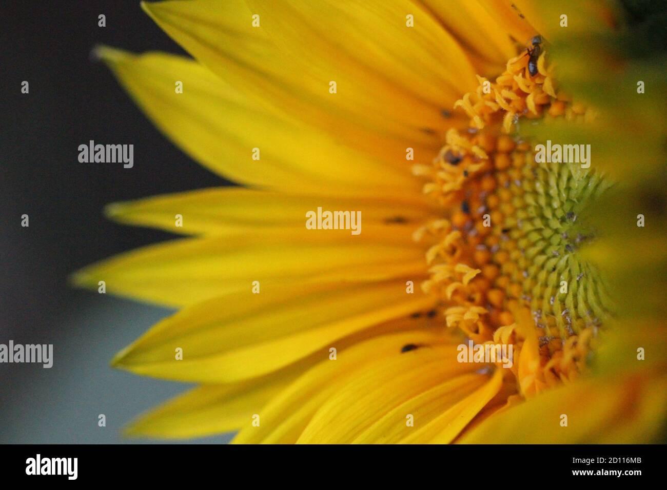 Girasol redondo amarillo verde y primer plano Foto de stock