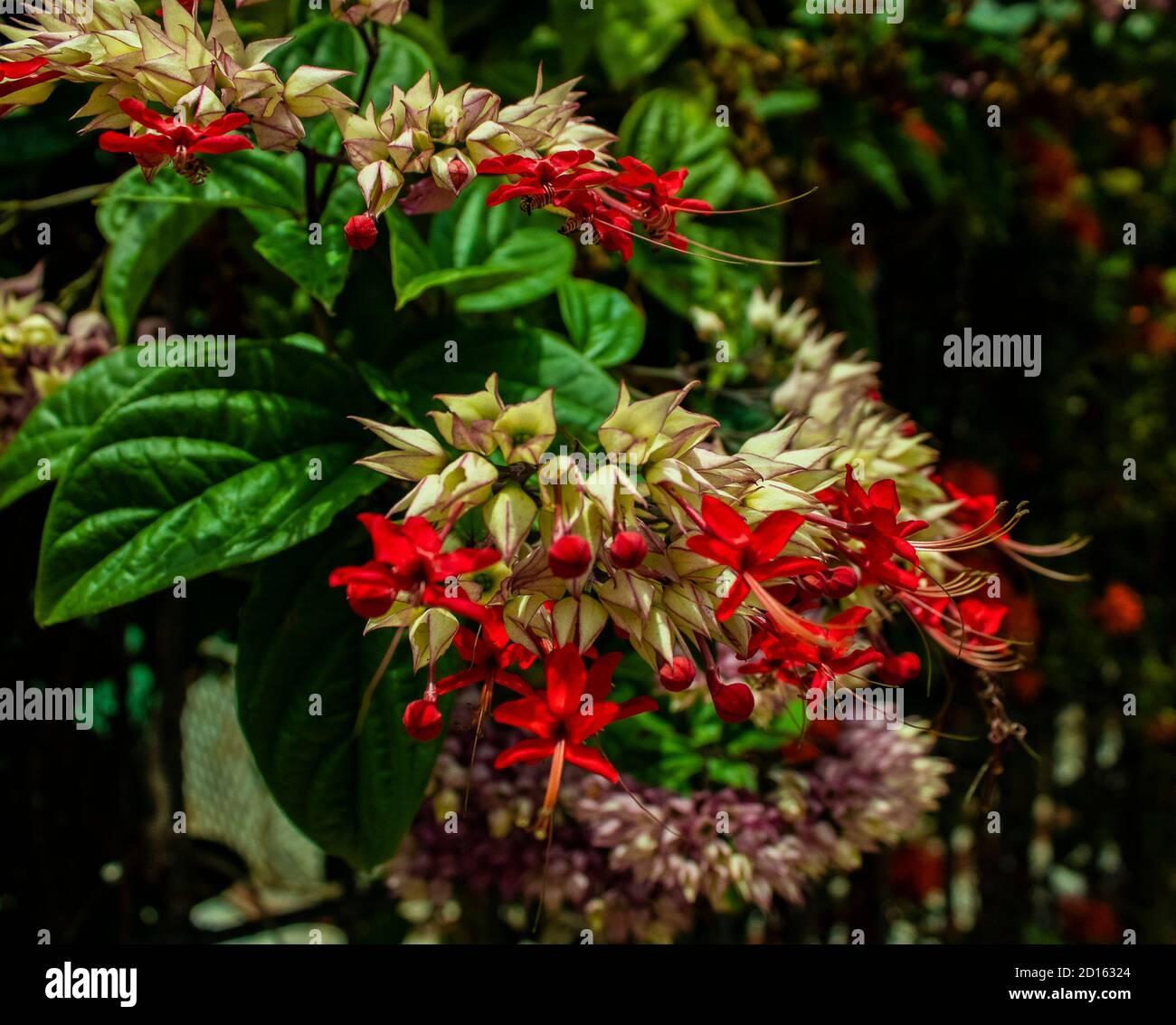 Milkweed - Asclepias Currassavica flores rojas con tonos púrpura lilas rosas y blancas tropicales, silvestres y silvestres exóticas, pequeñas flores agrupadas Foto de stock
