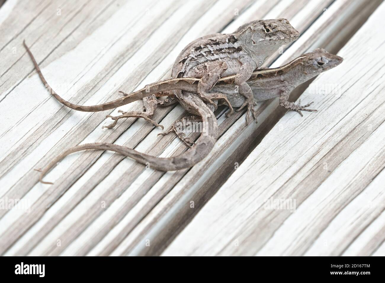 Cría Florida Scrub Lizards, Scopelporus woodi Foto de stock
