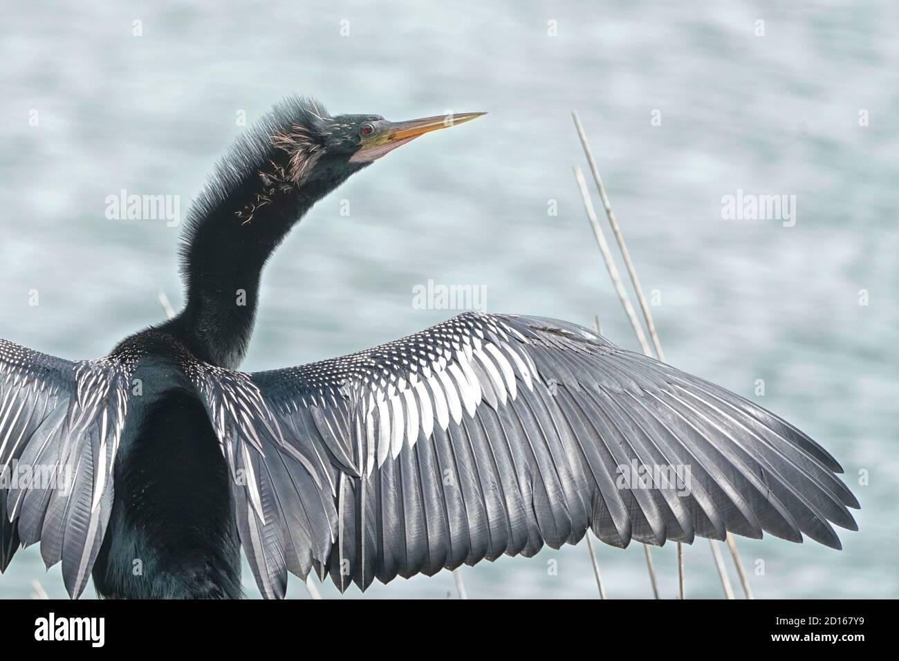 Anhinga, Anhinga anhinga, secando sus alas ya que no tiene plumas impermeables. Foto de stock