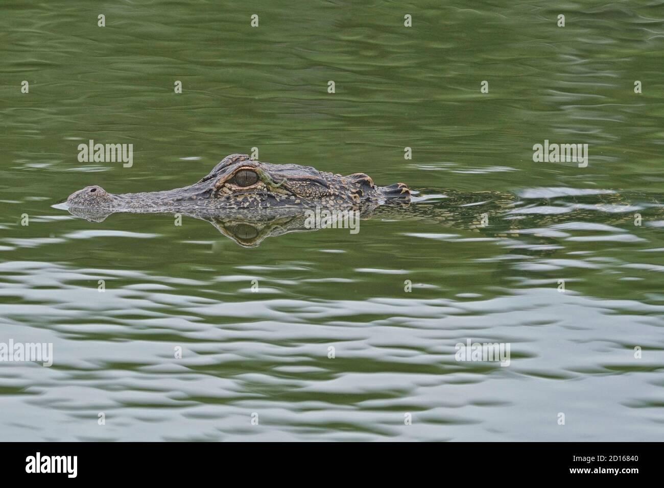 Cocodrilo americano, Alligator misssippiensis, nadando en una zona residencial. Foto de stock