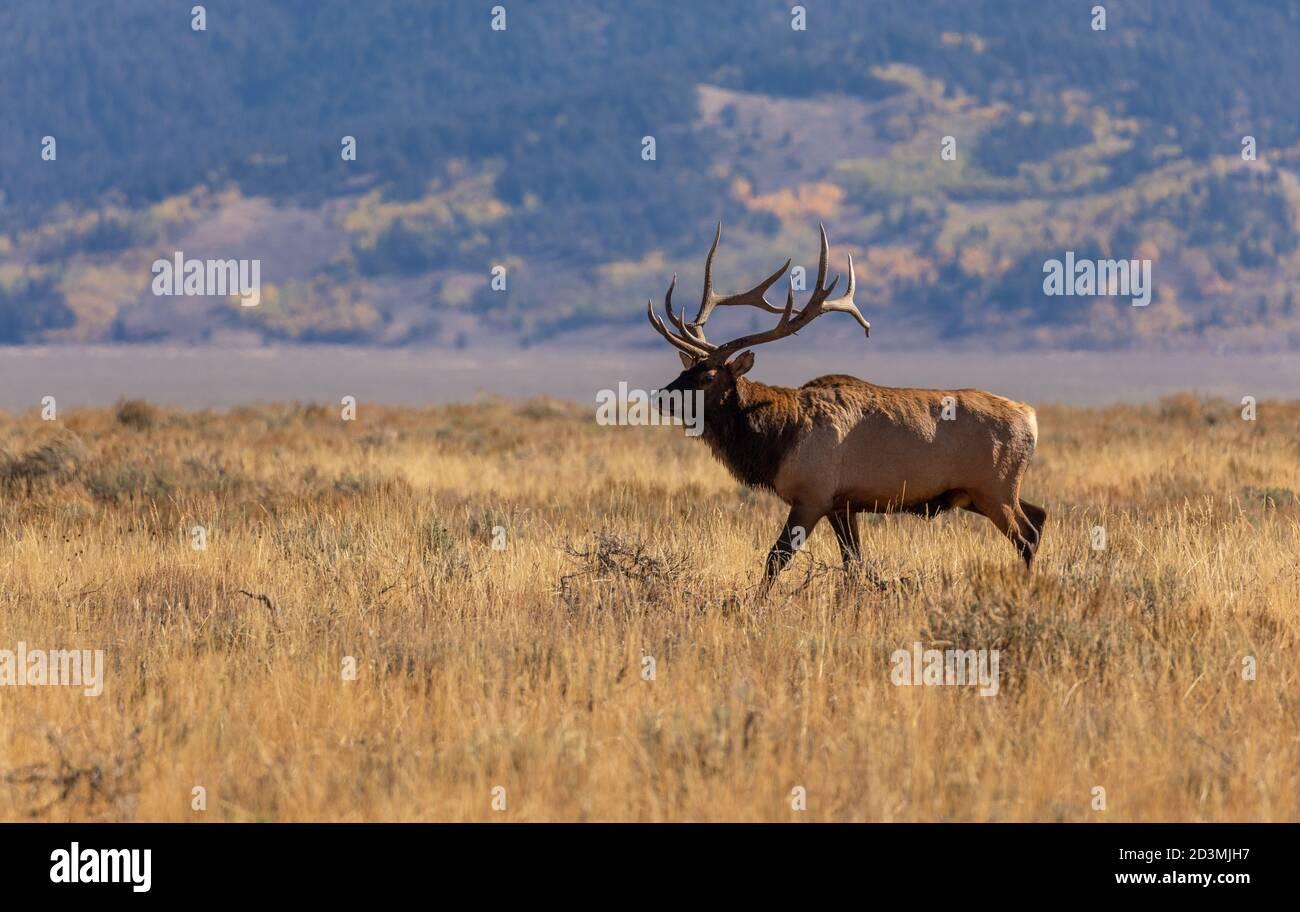 Alce de Toro en la Rut de Otoño en Wyoming Foto de stock