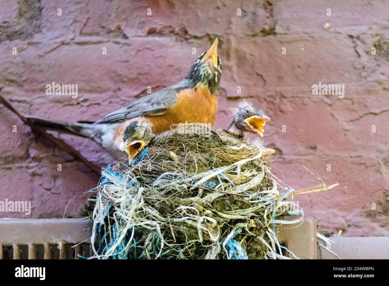 Petirrojo americano adulto, Turdus migratorius, con tres polluelos en nido, apareciendo a cantar con picos abiertos, Nueva York, EE.UU Foto de stock