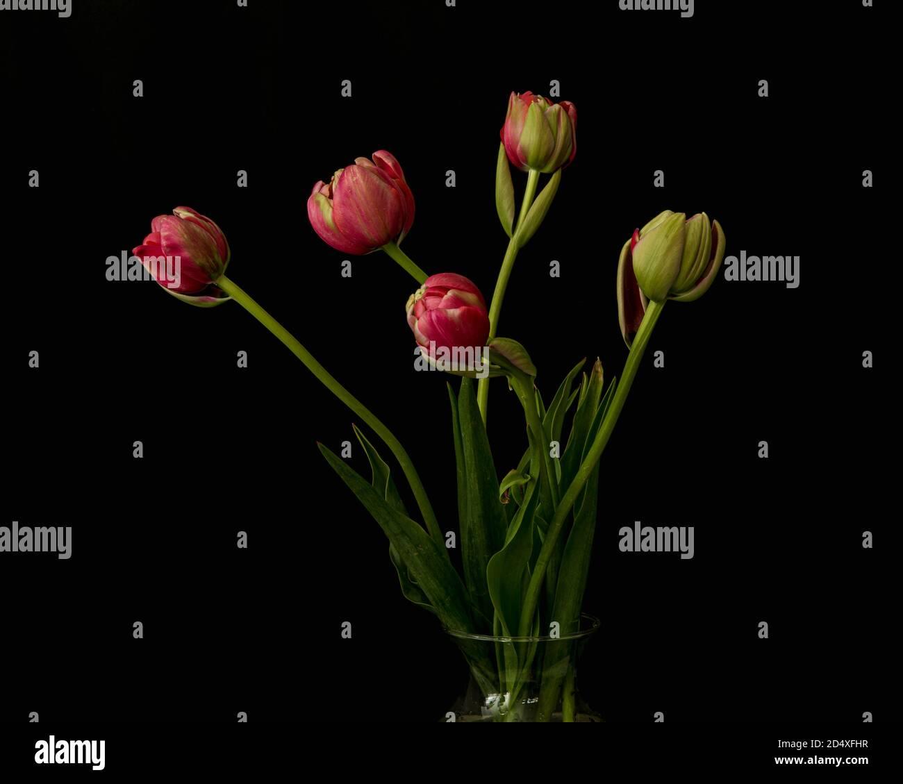 Ramo de yemas de tulipán rosa y hojas verdes, en un jarrón de cristal, visto desde el lado, solo se muestra la parte superior del recipiente, fondo negro de agache, con hojas Foto de stock
