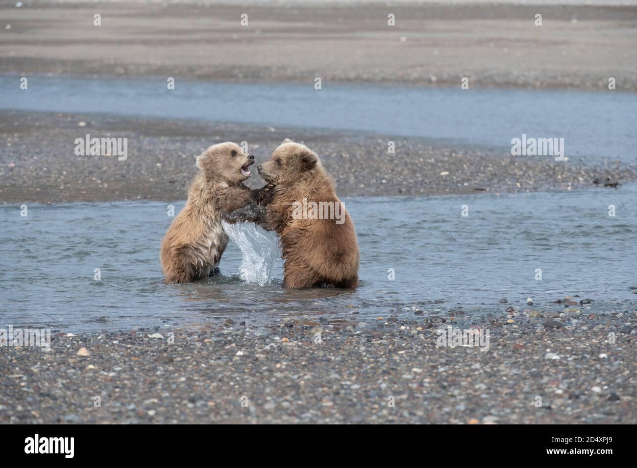 Oso marrón de Alaska, Parque Nacional del Lago Clark Foto de stock