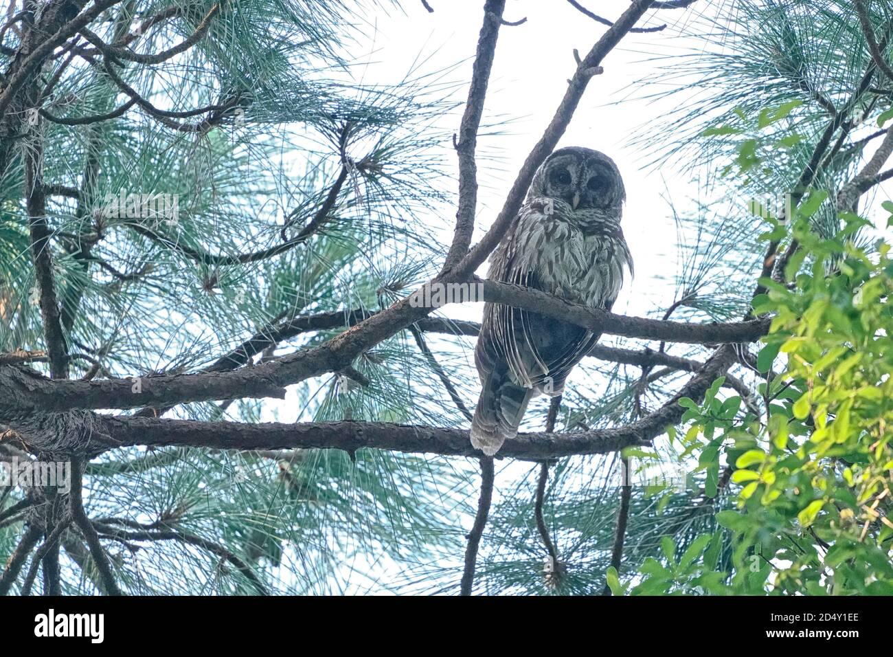 Búho barrado, Strix Varia, encaramado en un árbol Foto de stock