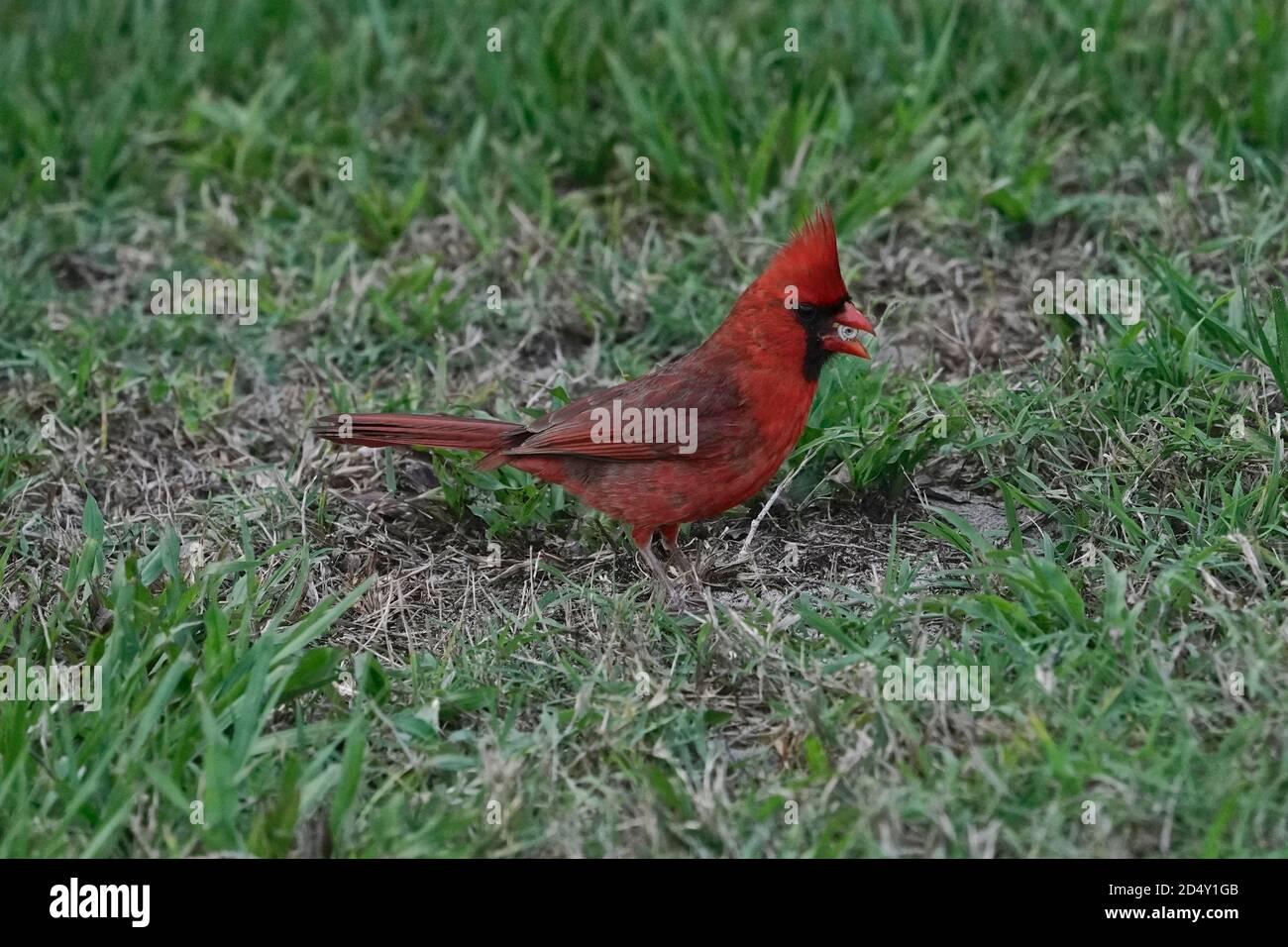 Cardenal macho del norte, Cardinalis cardinalis, alimentándose de un pequeño caracol Foto de stock
