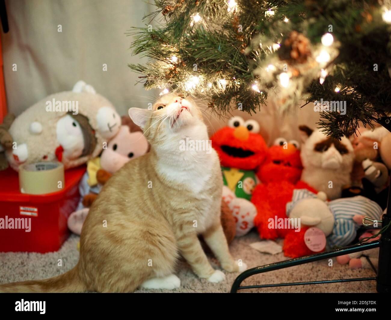 Mika el Tabby Naranja bajo el árbol de Navidad Foto de stock