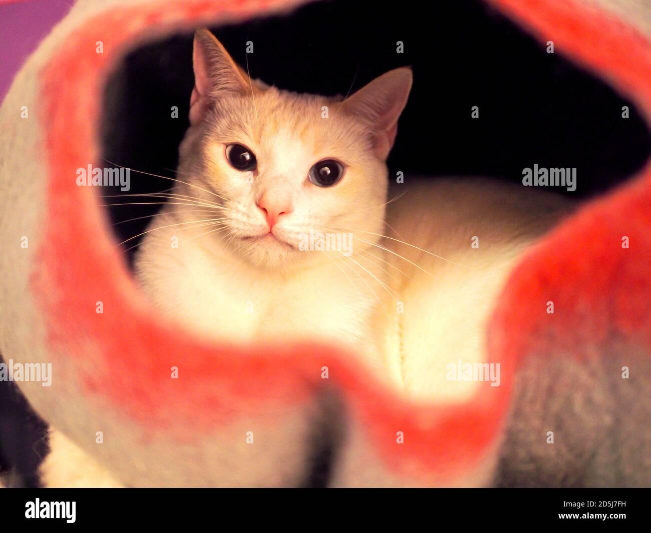 Mitzie el Siamese Flamepoint en su cama de fieltro Foto de stock
