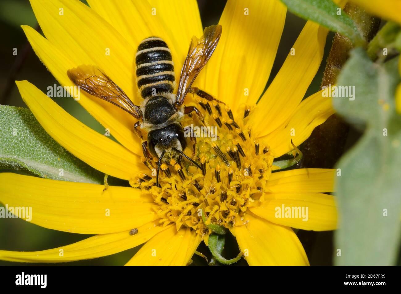 Say's Leaf-cutter Bee, Megachile inimica sayi, forrajeando en el girasol Maximiliano, Helianthus maximiliani Foto de stock