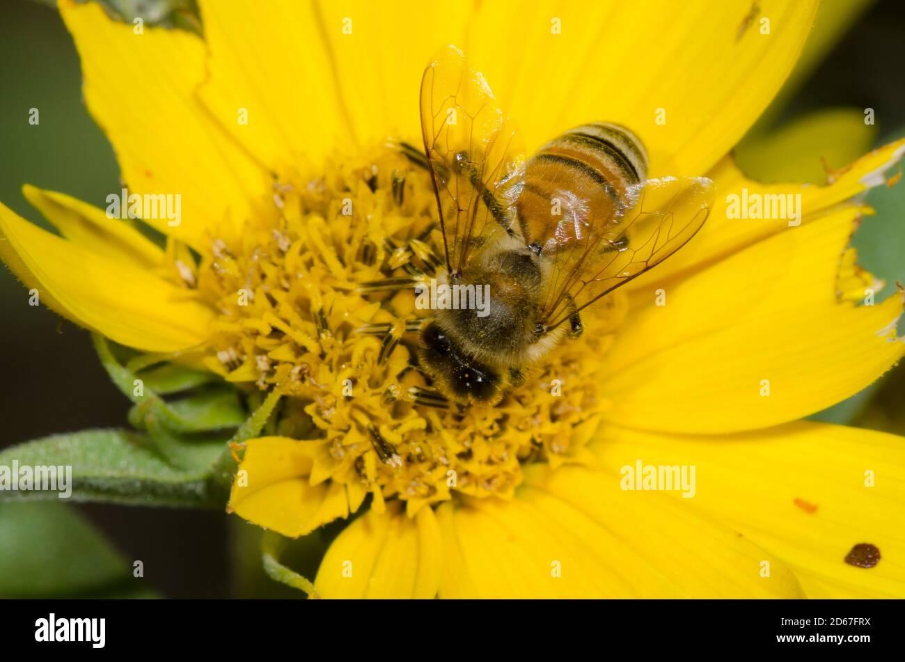 Miel de abeja, Apis mellifera, forrajeo sobre el girasol Maximiliano, Helianthus maximiliani Foto de stock