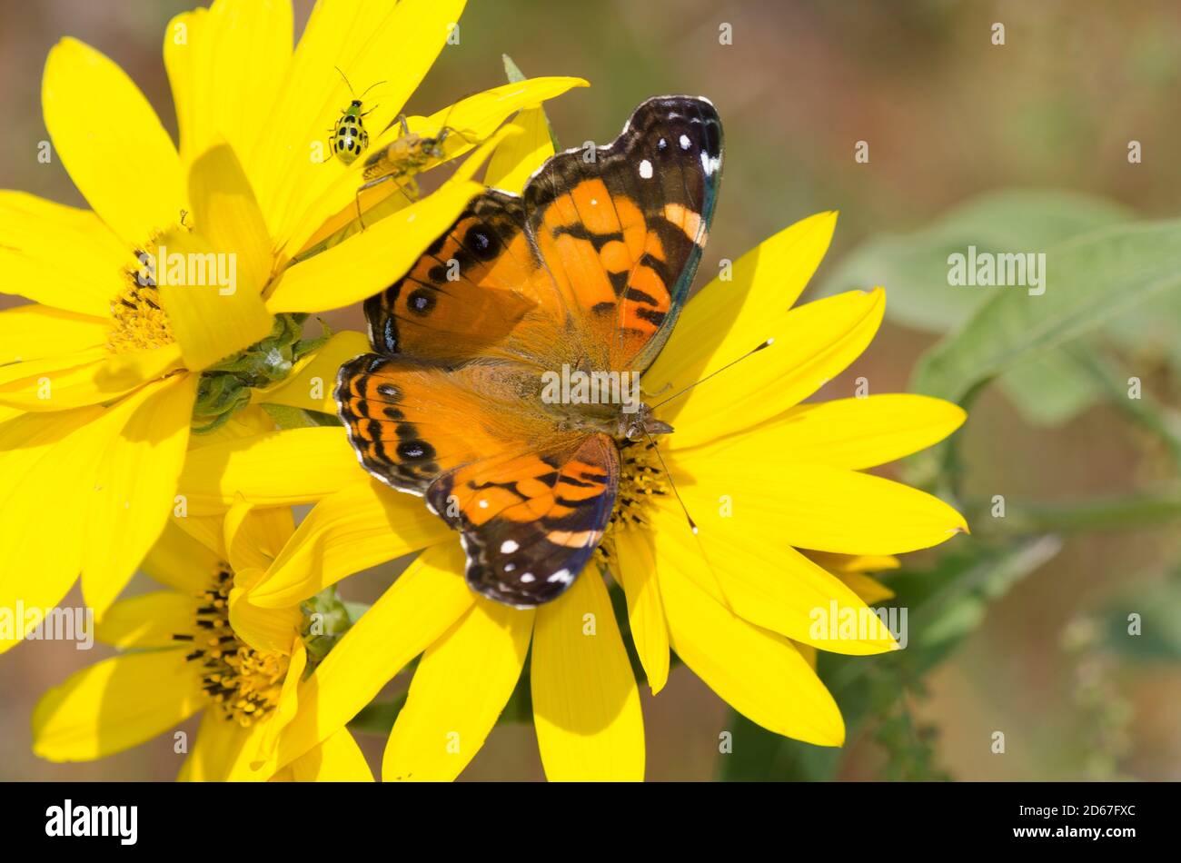 La señora americana, Vanessa virginiensis, nectaring de Maximilian, Girasol Helianthus maximiliani Foto de stock