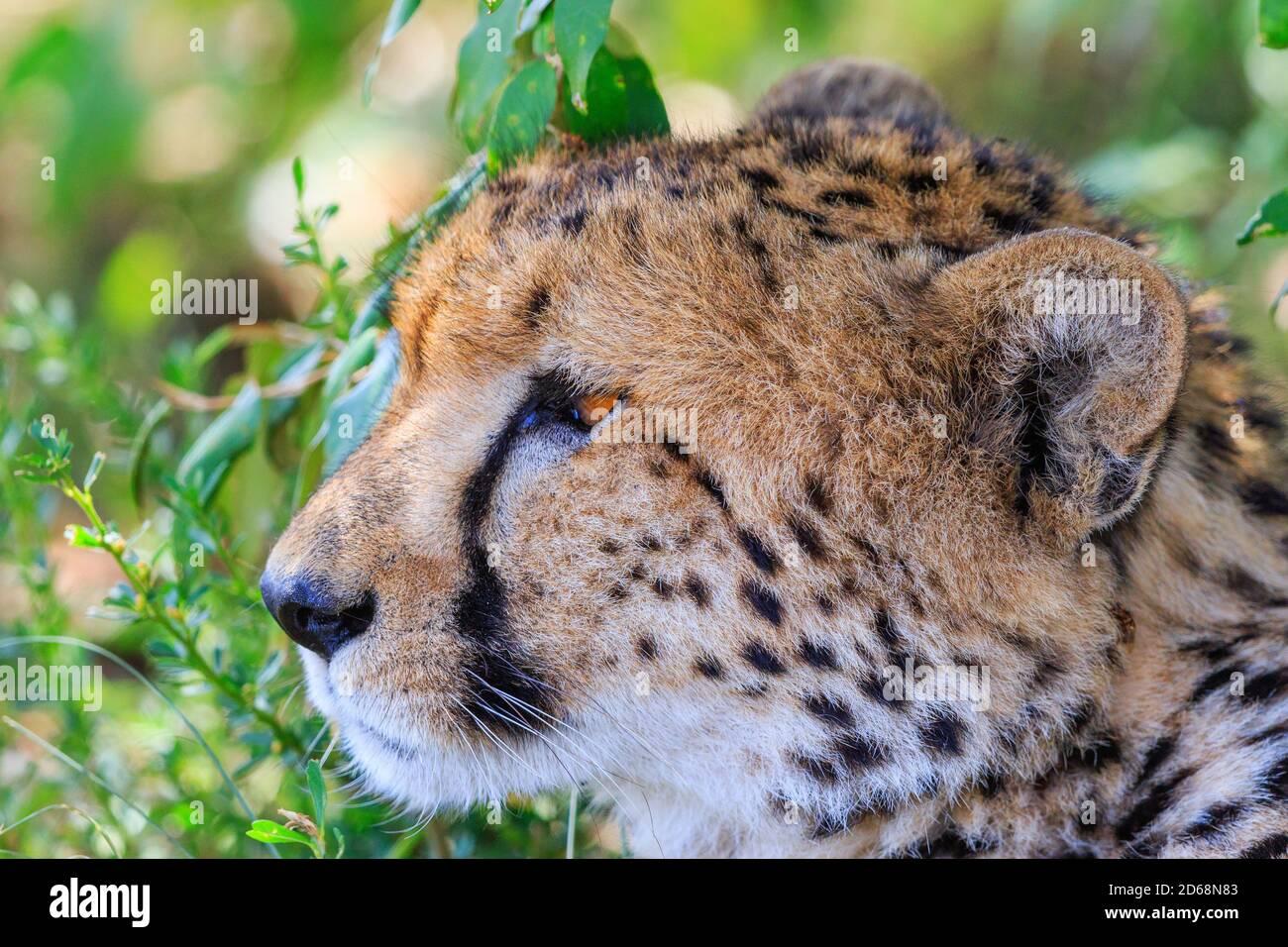 Guepardo hermoso cerca en la sombra mirando algo Foto de stock