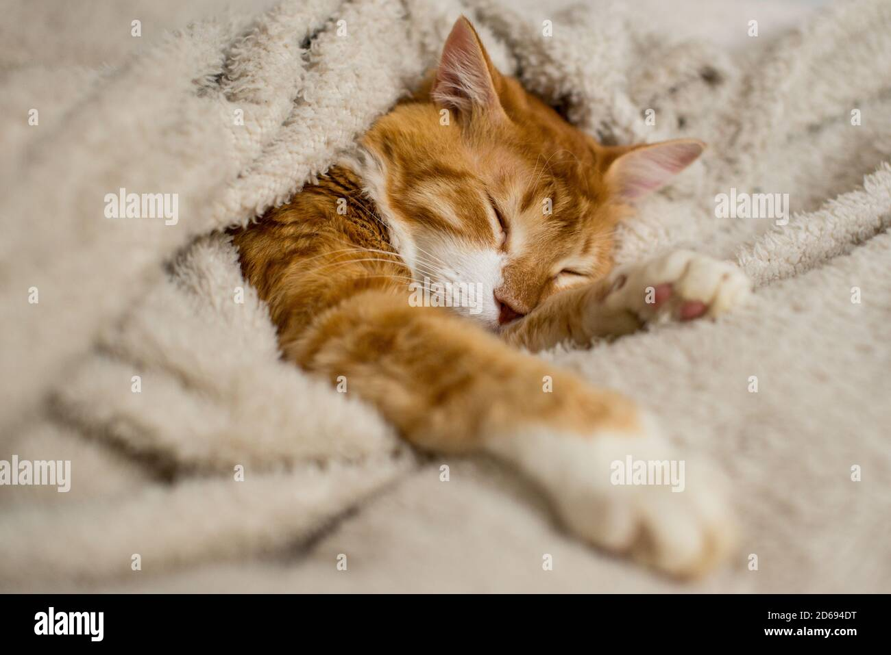El gato de jengibre duerme en una manta blanca y esponjosa. El gatito de jengibre está descansando. Un hogar acogedor, el humor de otoño, un gato esponjoso. Gato durmiente de jengibre. Mascota esponjosa Foto de stock