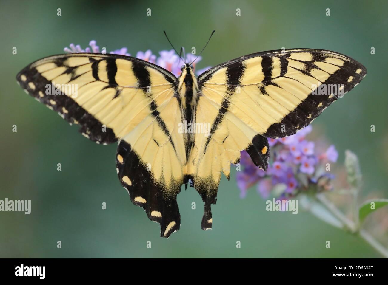 Vista superior de un macho de tigre oriental mariposa de cola de cisne (Caucus de Papilio) Chupar néctar una flor en un jardín de América del Norte Foto de stock