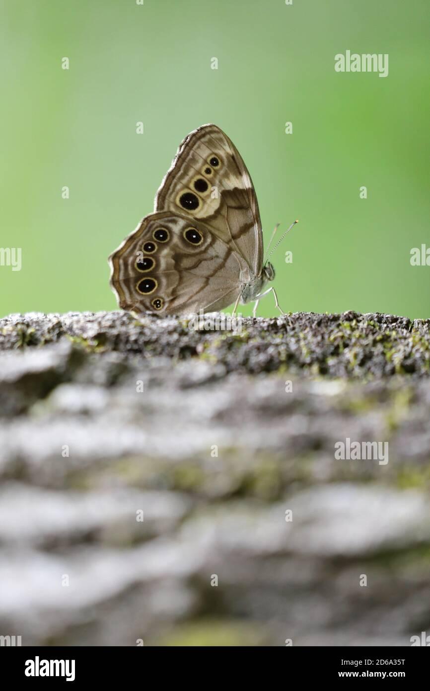 Primer plano de un ojo de la cara del norte (Enodia antedón) en una vista lateral de las alas Foto de stock