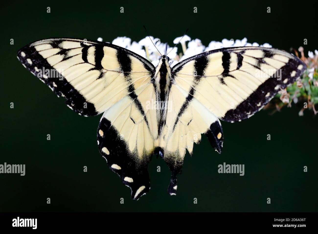 Vista superior de la mariposa del tigre oriental (Papilio glaucus) Chupar néctar una flor en un jardín de América del Norte en verano Foto de stock