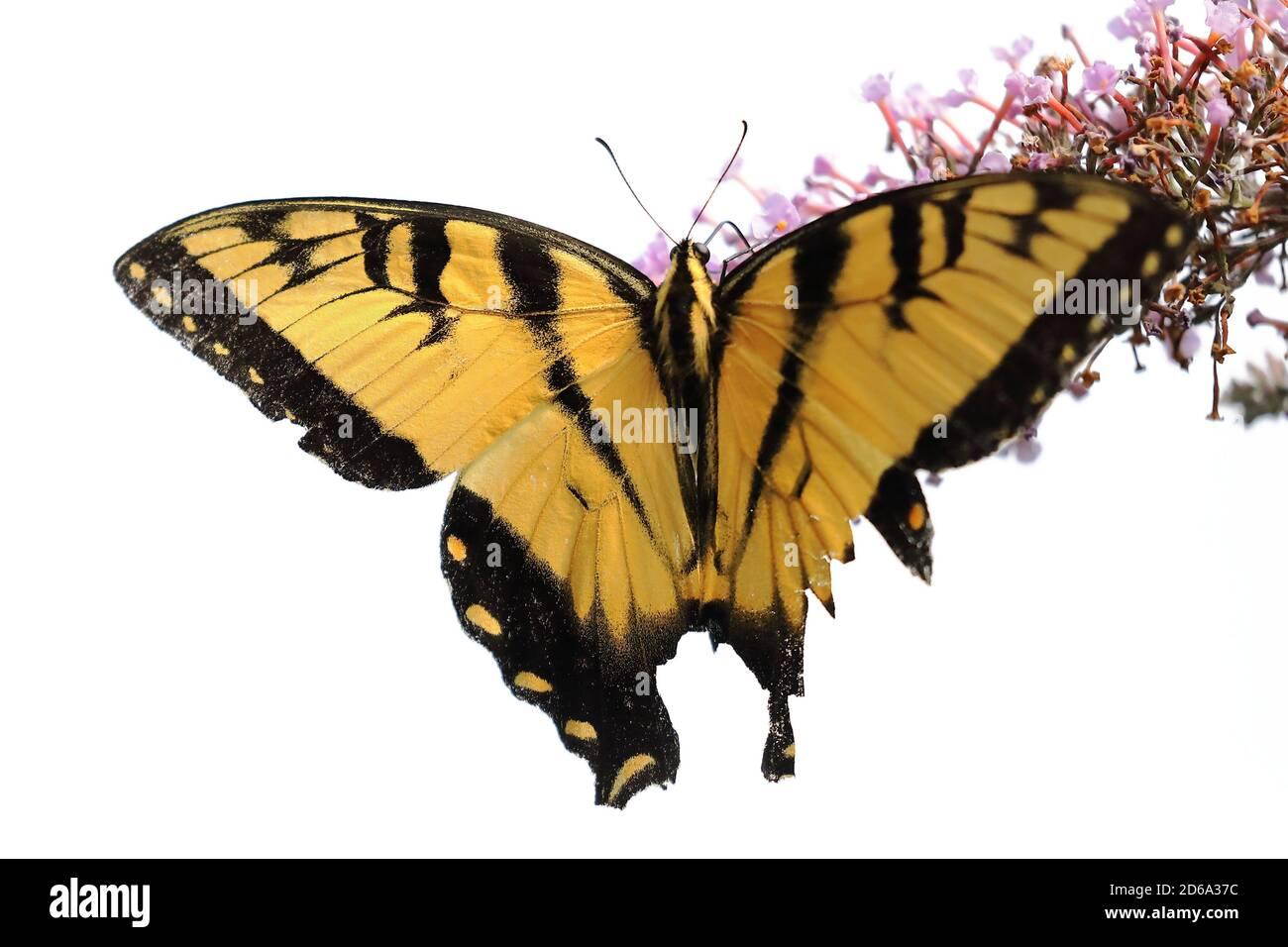 Vista superior de la mariposa del tigre oriental (Papilio glaucus) Chupar néctar sobre una flor de América del Norte durante el verano Foto de stock