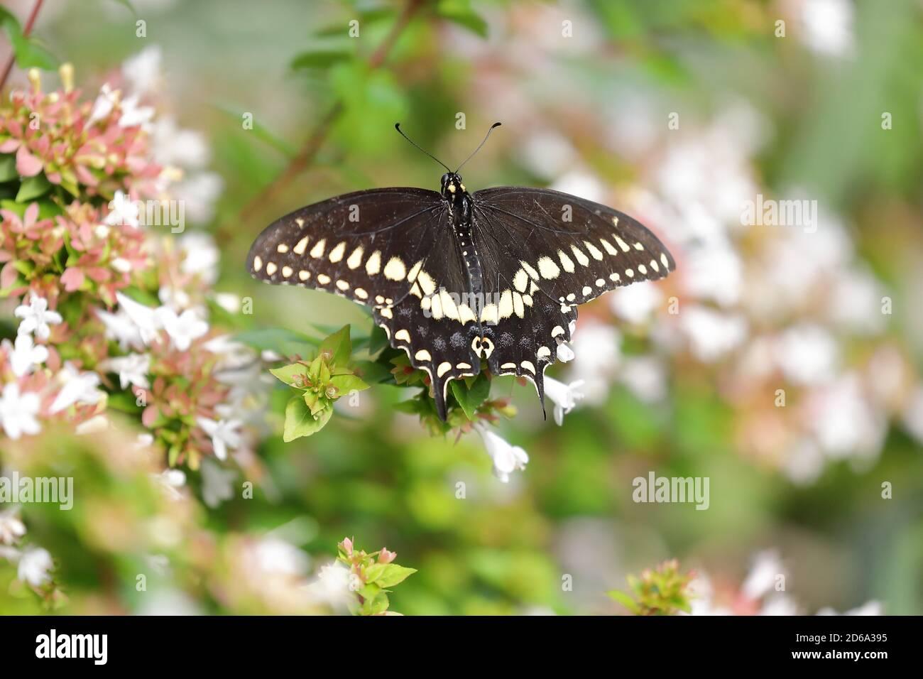 Vista superior de mariposa negra de cola de cisne (Papilio polyxene) Chupar néctar durante el verano en una flor del Norte América Foto de stock