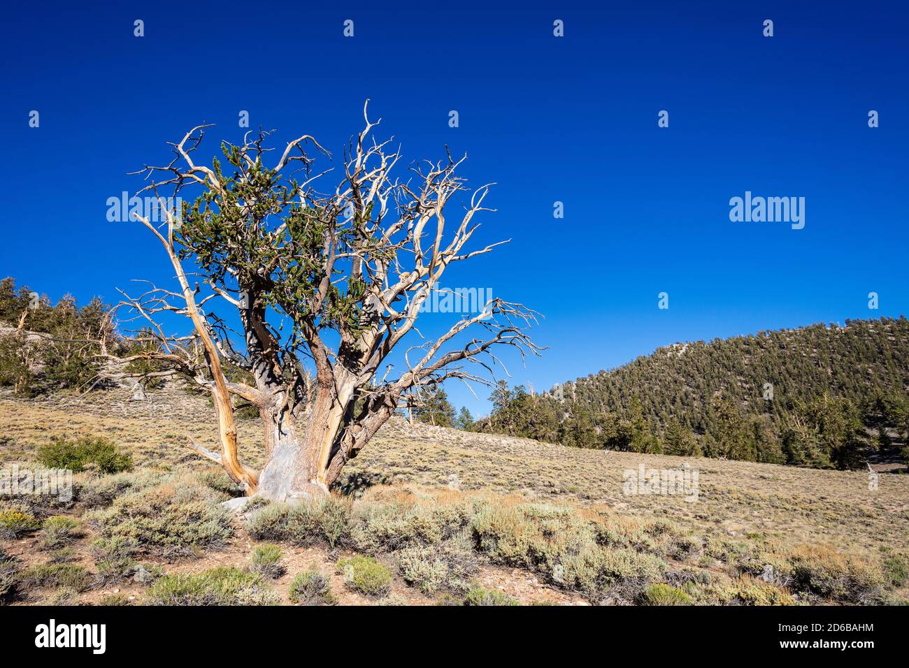 Antiguo bosque de pinos de Bristlecone en las Montañas Blancas y el Bosque Nacional de Inyo cerca de Bishop, California, EE.UU. Foto de stock