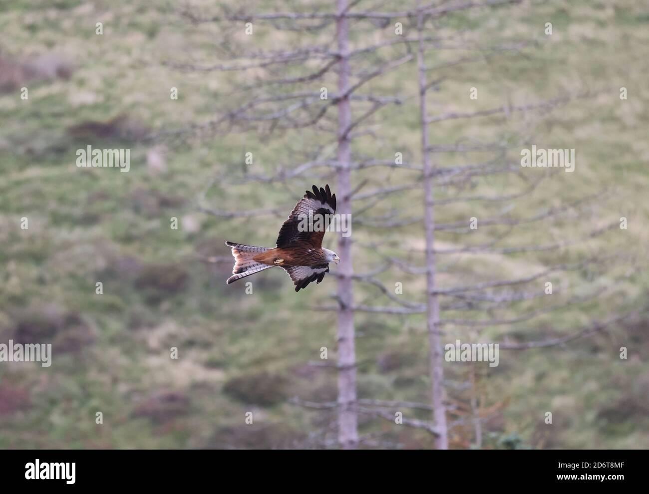 Red Kite, Milvus milvus, en un entorno natural galés, Gales, reino unido Foto de stock