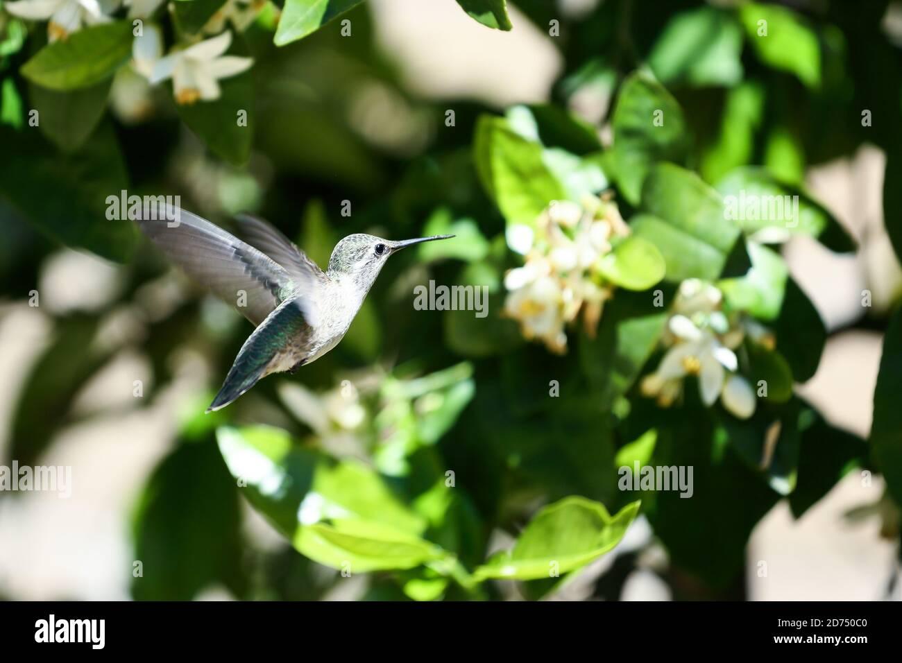 Un colibrí rondando para recoger néctar de las flores de pomelo árbol Foto de stock