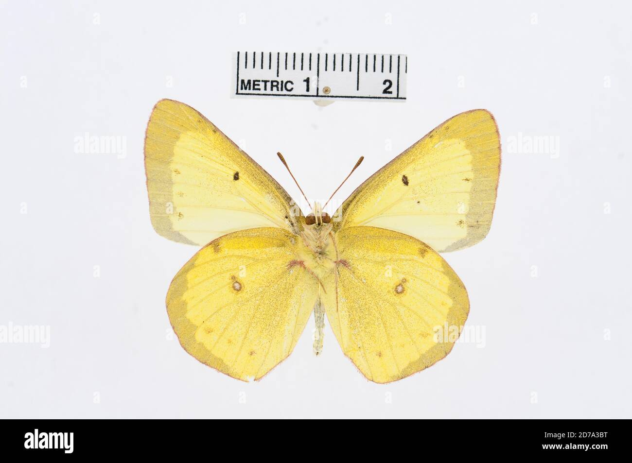 Colias philodice, Animalia, Arthropoda, Insecta, Lepidoptera, Pieridae, Coliadinae Foto de stock