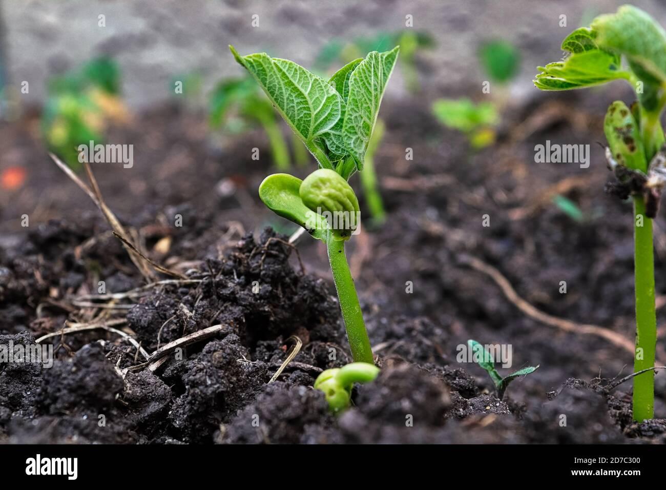Brotes de frijol joven creciendo sus primeras hojas Foto de stock