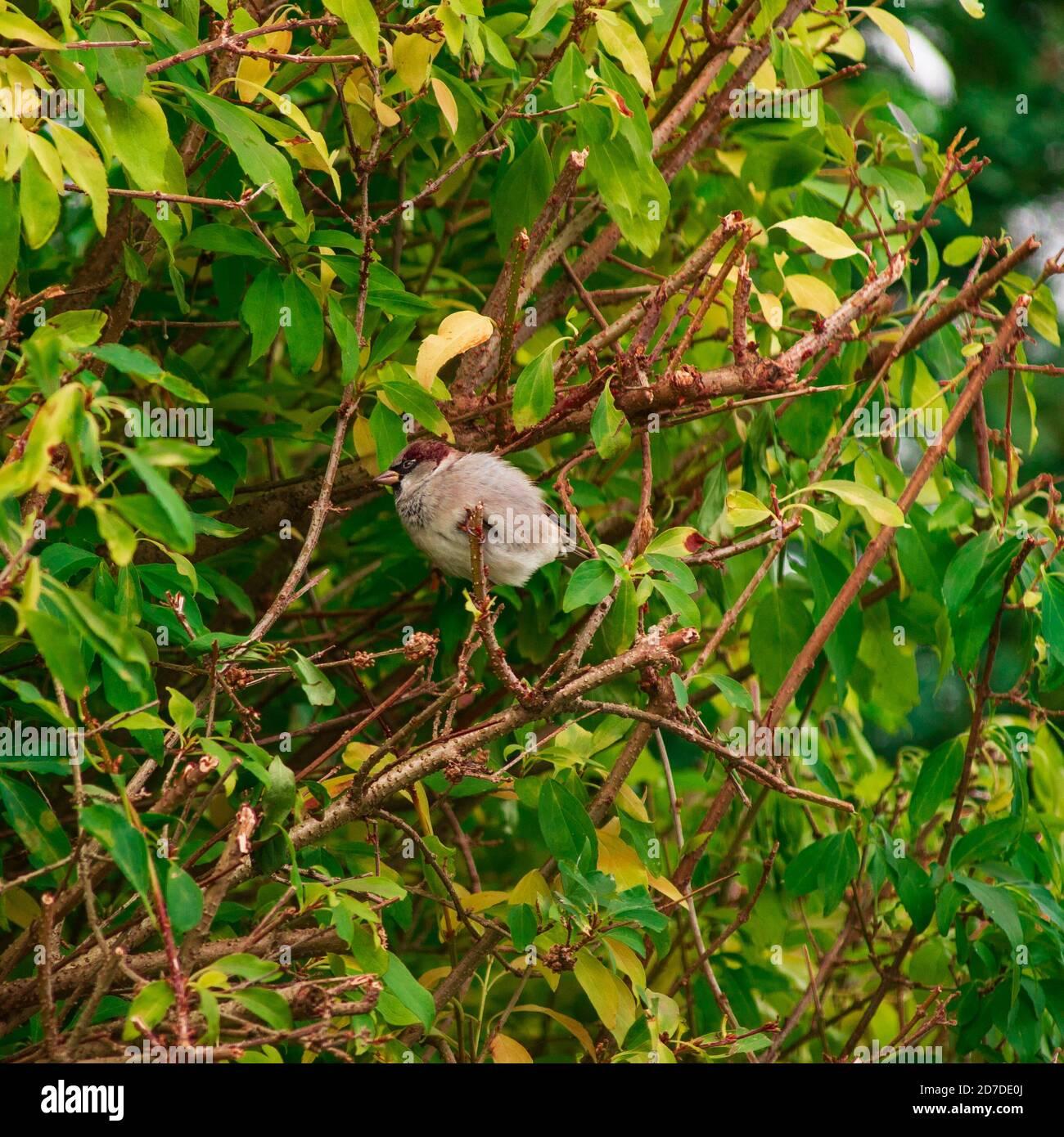 Vista de gorrión sentado en un arbusto. Foto de stock