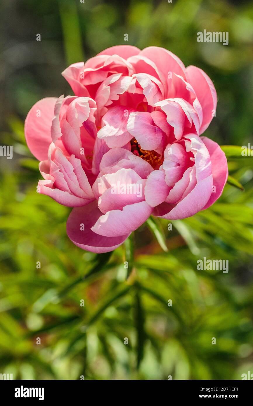 Peonía China (Paeonia lactiflora) 'Coral Charm' Foto de stock