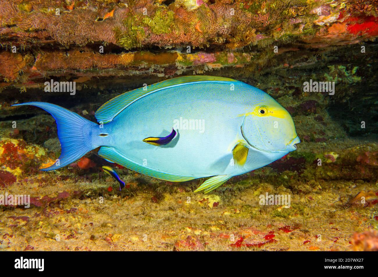 Este pez surgeonfish de aleta amarilla hembra, Acanthurus xanthopterus, está en una estación de limpieza que está siendo mirado por dos wrasse hawaiano endémico, Labroid Foto de stock