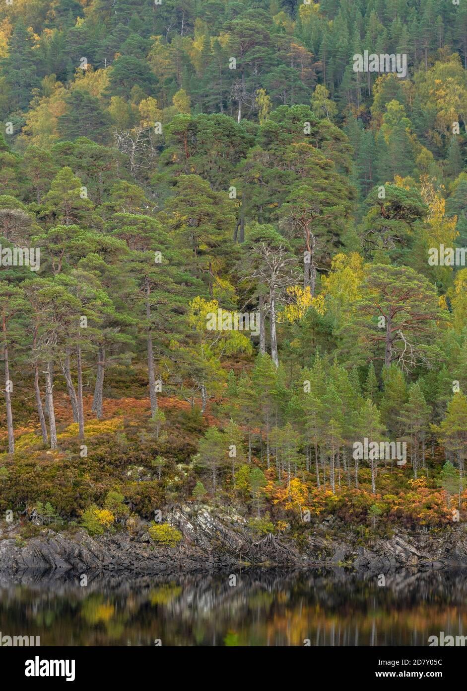 Glen Affric, reserva natural nacional y reserva forestal de Caledonian, en otoño; Highland, Escocia. Pino escocés, Pinus sylvestris con abedules. Foto de stock