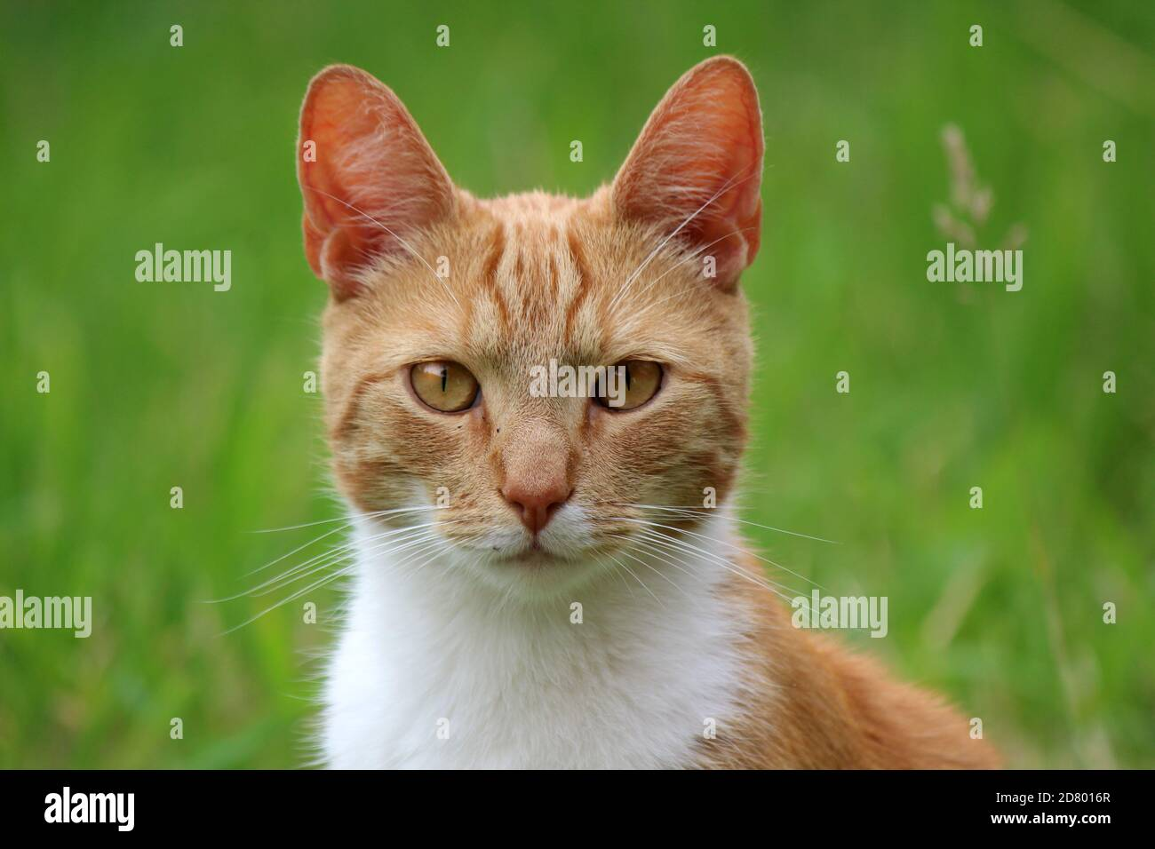 Retrato de lindo gato de jengibre. Fondo verde de hierba. Foto de verano al aire libre. Foto de stock