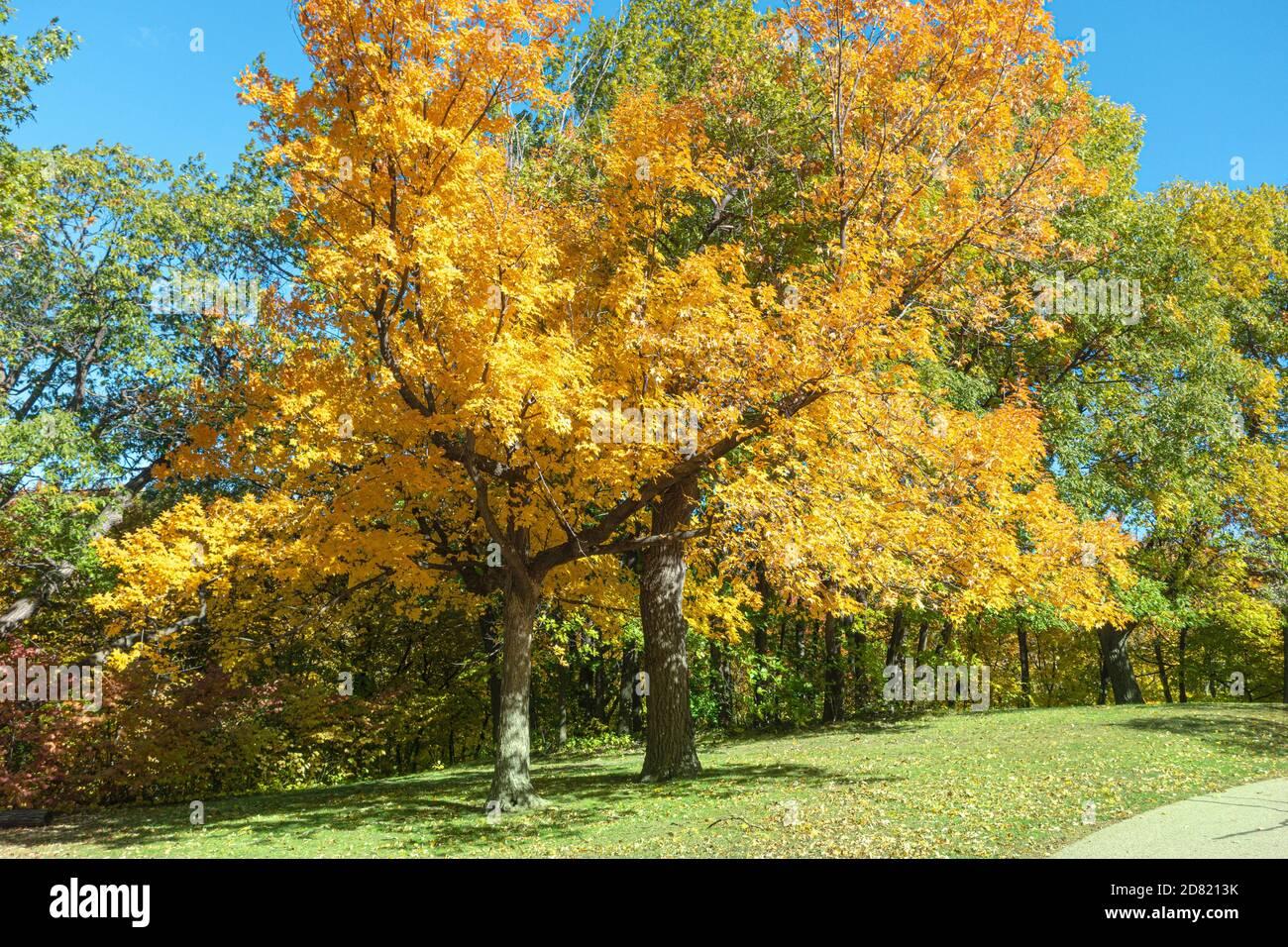 Árbol amarillo brillante en el River Road St Paul Minnesota MN EE.UU Foto de stock