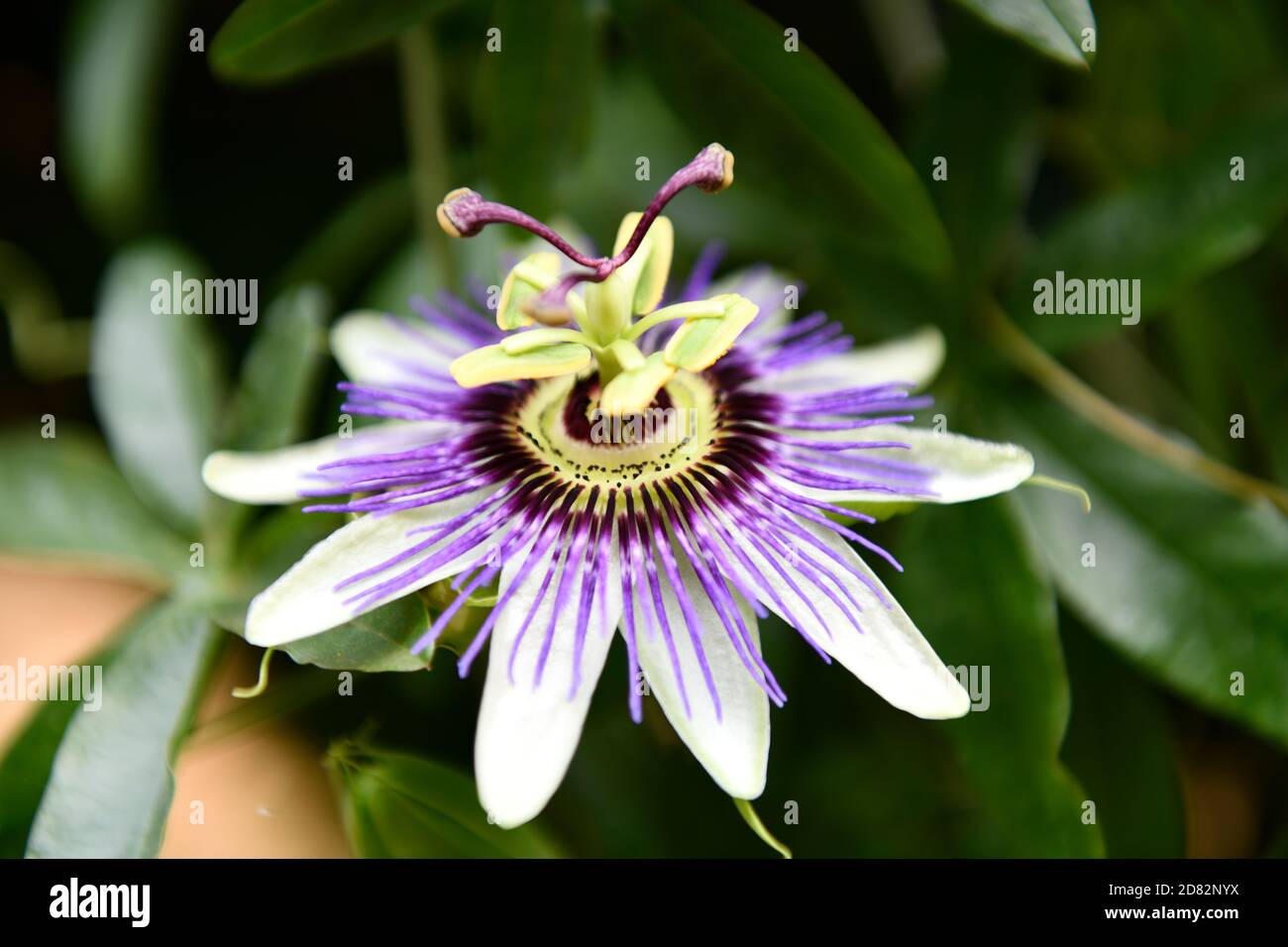 Flor de la pasión (Passiflora incarnata ) Foto de stock