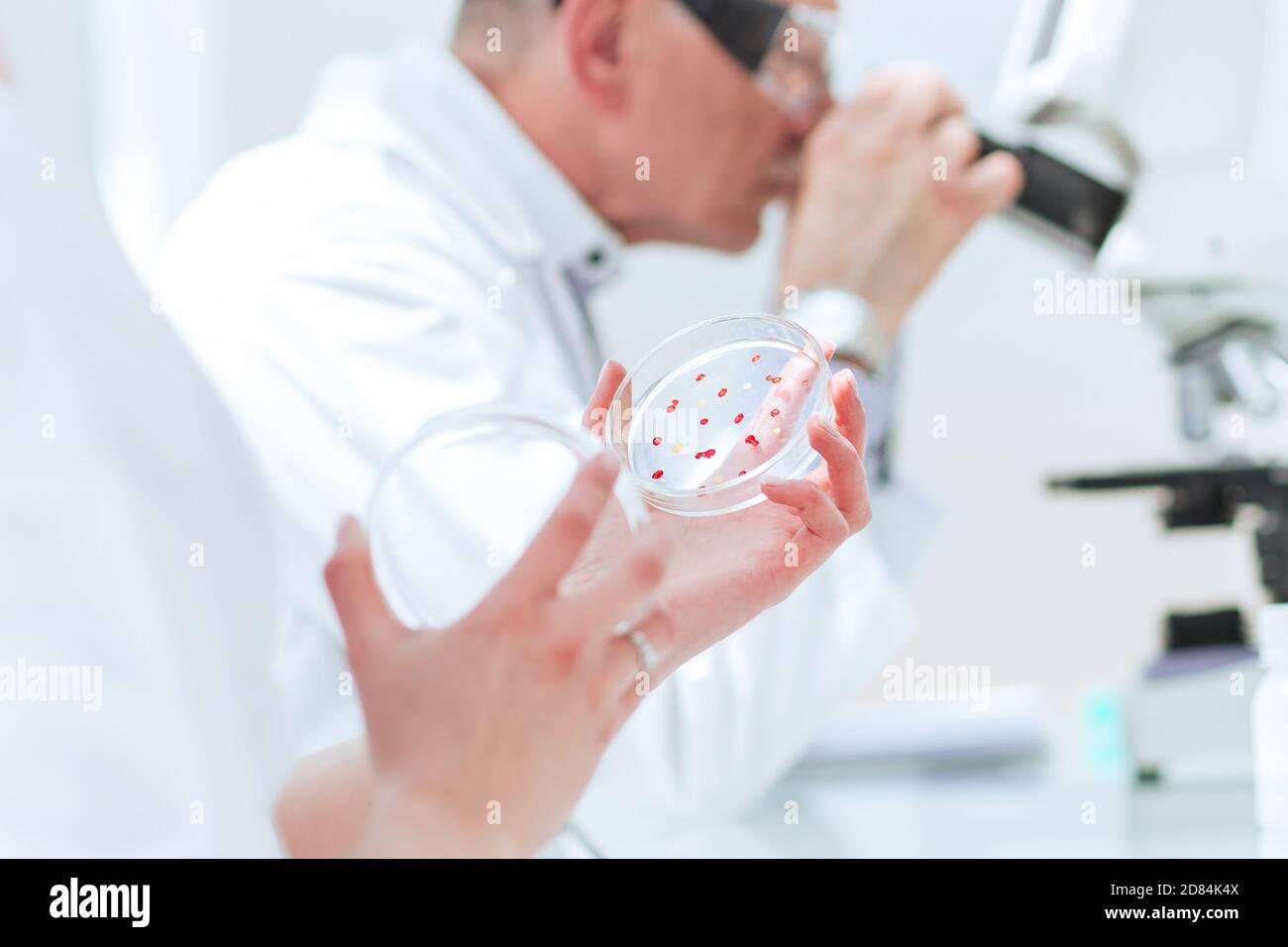 De cerca. Biólogos investigan bacterias en una placa de Petri. Foto de stock