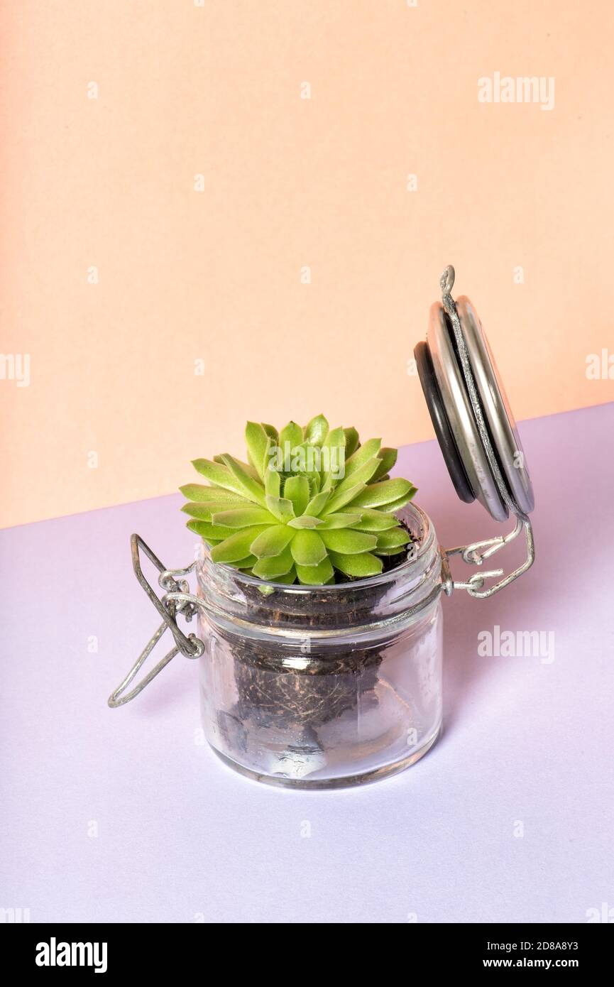 Planta suculenta en tarro de vidrio. Decoración floral sobre fondo de color Foto de stock
