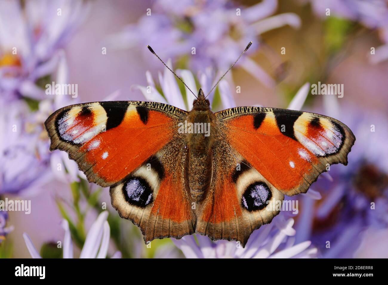 Ojo de pavo real de mariposa de color rojo-negro-lila de primer plano sobre flores púrpura con alas abiertas amplias en un soleado día de otoño. Foto de stock