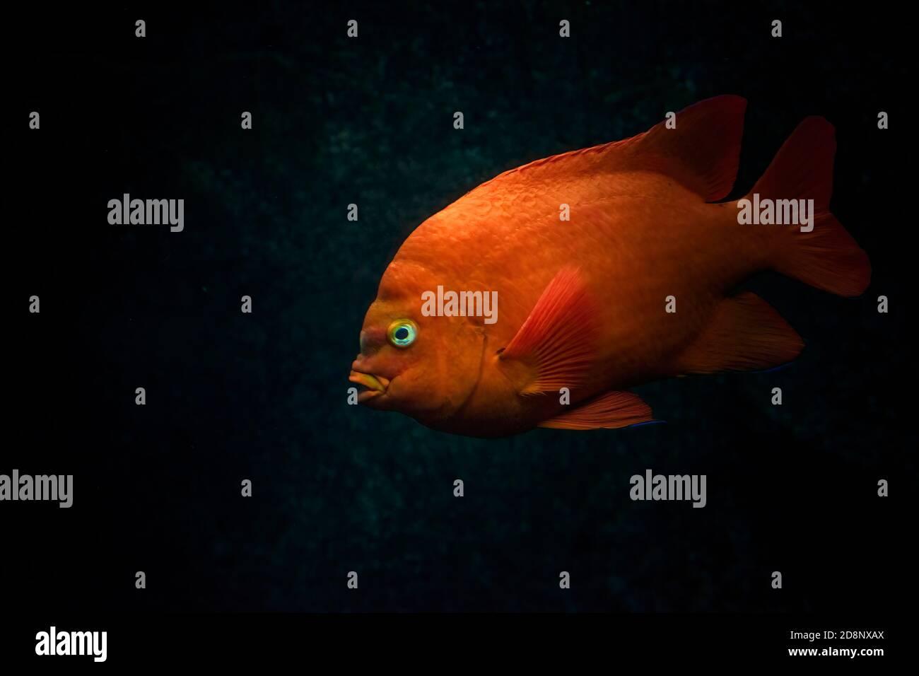 Rojo naranja Garibaldi o Garibaldi maldito (Hypsypops rubicundus) nadar en el océano. Fondo oscuro. Foto de stock